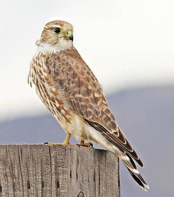 Door Locks And Handles Rights Managed Images - Merlin Prairie Falcon Royalty-Free Image by Jennie Marie Schell