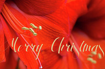 Photograph - Merry Christmas Amaryllis by Deb Buchanan