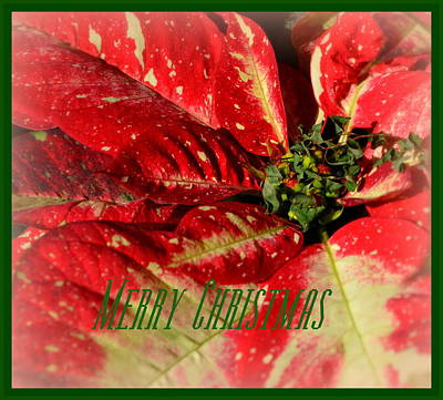 Kitchen Mark Rogan Rights Managed Images - Merry Christmas Poinsettia card Royalty-Free Image by Linda Covino