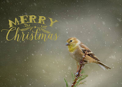 Photograph - Merry Christmas Winter Goldfinch 1 by Cathy Kovarik