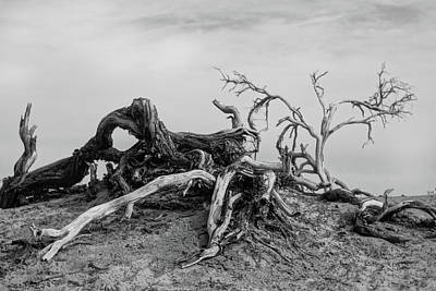 Photograph - Mesquite Roots - Death Valley 2015 by Roland Peachie