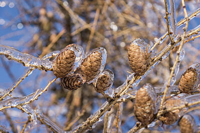 Photograph - Messy - Tangled Icy Branches And Pine Cones by Georgia Mizuleva