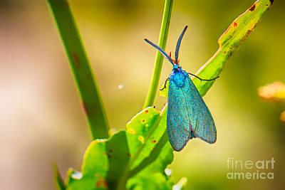 Metallic Forester Moth Art Print by Jivko Nakev
