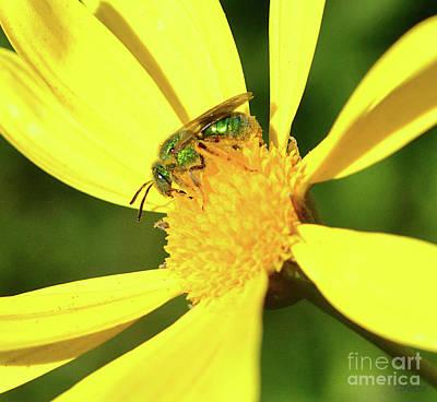 Photograph - Metallic Green Bee by Debby Pueschel