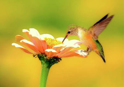 Photograph - Metallic Hummingbird by Athena Mckinzie