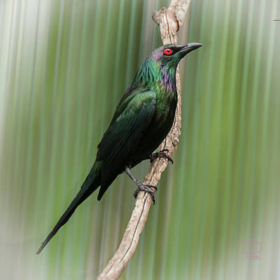 Starlings Digital Art - Metallic Starling by Daniel Hebard