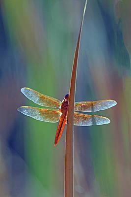 Photograph - Flame Skimmer 0126-050918-1cr by Tam Ryan