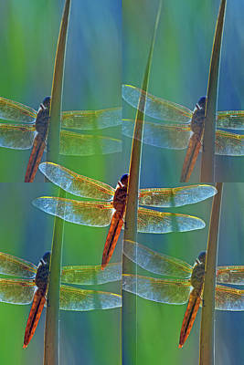 Photograph - Mexican Amberwing 0126-050918-2cr-photo Art by Tam Ryan