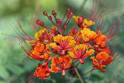 Photograph - Mexican Bird Of Paradise Blooming  by Saija Lehtonen