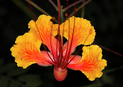 Mexican Bird Of Paradise Art Print by Jim Painter