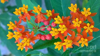 Photograph - Mexican Butterfly Weed 1 by Jennifer E Doll