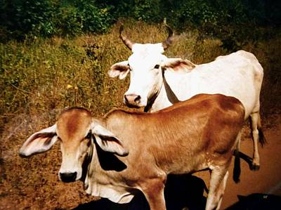 Photograph - Mexican Cattle by Will Borden