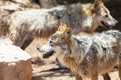 Photograph - Mexican Gray Wolves by SR Green