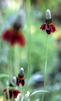 Photograph - Mexican Hat Flower by Carol Montoya