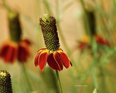 Photograph - Mexican Hat Prairie Coneflowers by Katherine White