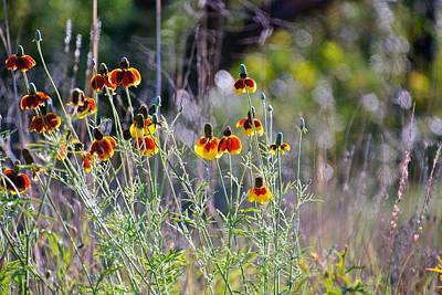 Mexican Fiesta Photograph - Mexican Hat Texas Wildflower, Ratibida Columnifera by M E Wood