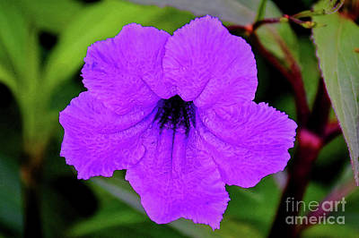 Photograph - Mexican Petunia 1218-1 by Ray Shrewsberry