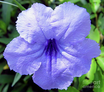 Photograph - Mexican Petunia by D Hackett