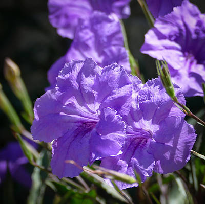 Photograph - Mexican Petunias by Laurel Powell