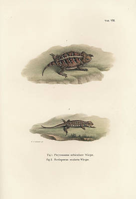 Drawing - Mexican Plateau Horned Lizard And Light-bellied Bunchgrass Lizard by Friedrich August Schmidt