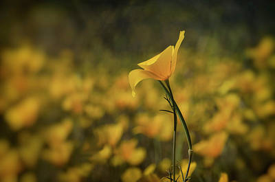 Photograph - Mexican Poppy  by Saija Lehtonen