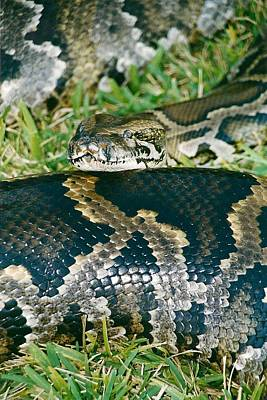 Mexican Python Original by Brent Easley