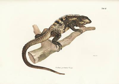 Iguana Drawing - Mexican Spiny-tailed Iguana, Ctenosaura Pectinata by Elsasser