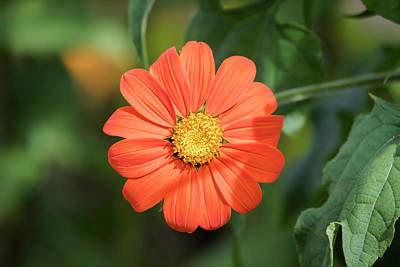 Photograph - Mexican Sunflower 2017-1 by Thomas Young