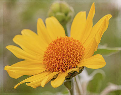 Photograph - Mexican Sunflower 9469 by Teresa Wilson