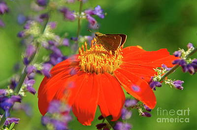 Photograph - Mexican Sunflower And Guest by Byron Varvarigos