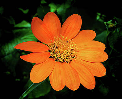 Photograph - Mexican Sunflower by Robin Zygelman