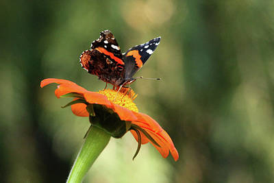 Photograph - Mexican Sunflower With Red Admiral by Debbie Oppermann