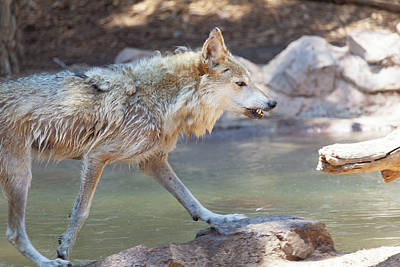Photograph - Mexican Wolf At Water Edge by Steven Green