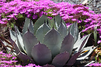 Photograph - Mezcal Agave In The Garden by Afroditi Katsikis