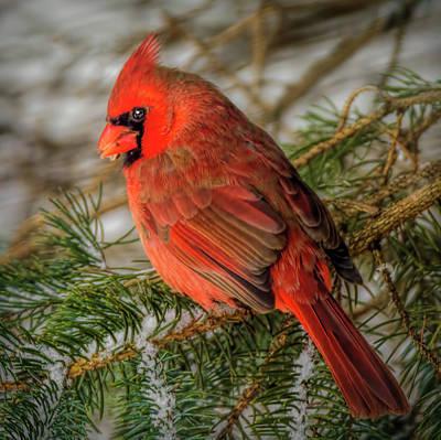 Photograph - Mi Winter Cardinal by LeeAnn McLaneGoetz McLaneGoetzStudioLLCcom