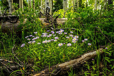 Photograph - Michaelmas Daisies In The Wasatch by TL  Mair
