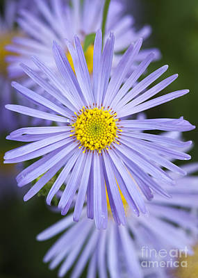 Michaelmas Daisy Art Print by Tim Gainey