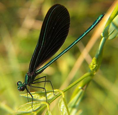 Michigan Damselfly Art Print