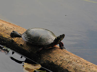 Photograph - Michigan Painted Turtle by Scott Hovind
