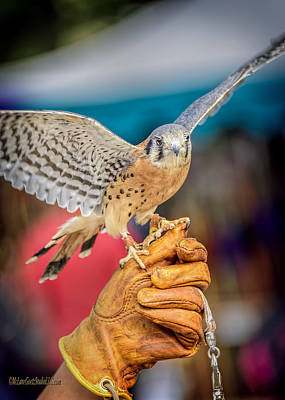 Sparrow Photograph - Michigan Renaissance Kestrel by LeeAnn McLaneGoetz McLaneGoetzStudioLLCcom