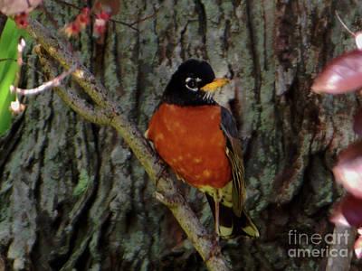 Michigan State Bird Robin Art Print