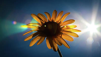 Photograph - Mid Afternoon Sunflower by Jeanette Fellows