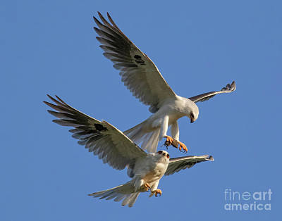 Photograph - Mid Air Food Exchange by Beth Sargent