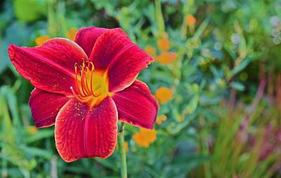 Photograph - Mid August Garden Blazing Daylily 1 by Janis Nussbaum Senungetuk