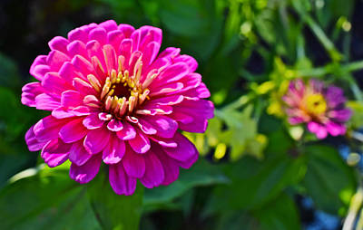 Photograph - Mid September Garden Zinnias by Janis Nussbaum Senungetuk