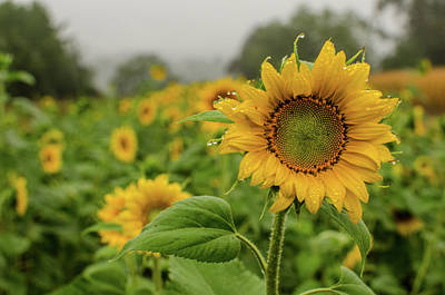 Photograph - Mid September Sunflowers by Miguel Winterpacht