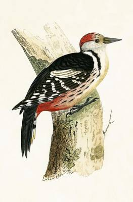 Ornithology Drawing - Middle Spotted Woodpecker by English School