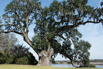 Photograph - Middleton Oak by Ed Waldrop
