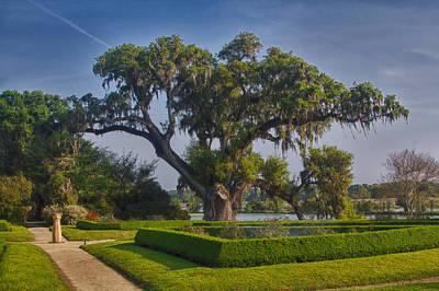 Photograph - Middleton Oak by Patricia Schaefer