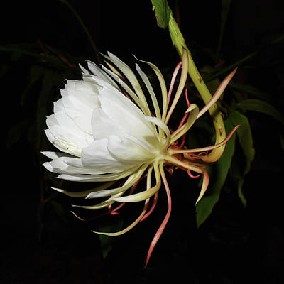 Epiphyllum Oxypetalum Painting - Midnight Arrival by Belinda Nagy